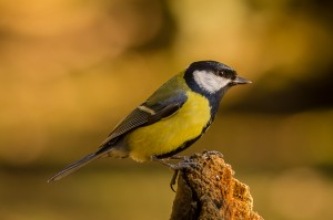 1st-Great-Tit-on-Tree-Stump-Peter-Nolan
