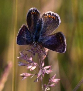Common Blue Buttefly1
