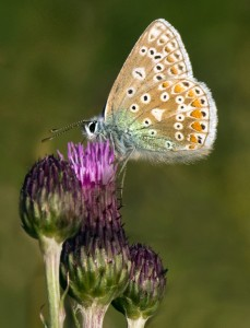 Common Blue Butterfly_78_summer macro (1)