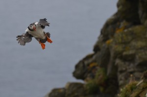 Fair Isle puffin - Jan Laing