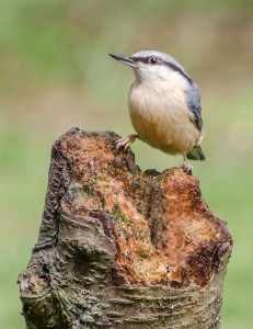 HC-Nuthatch-Bill-Higgins