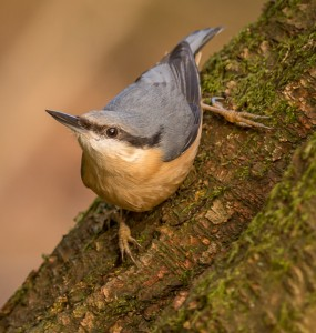 HC-Nuthatch-on-Tree-Peter-Nolan