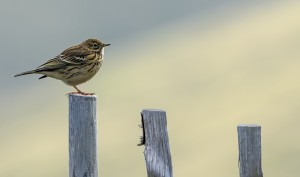 Meadow Pipit - William Kelly