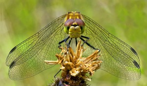 Female common darter - Susan Miller