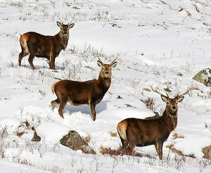 red-deer-in-winter